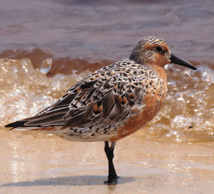 rufa red knot