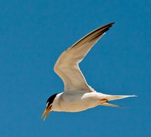 Least tern, Interior DPS
