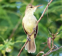 Mariana nightingale reed-warbler subspecies, or ga kaliso / gaga karisu