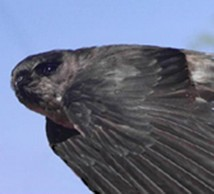 Mariana swiftlet, or yayaguak
