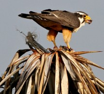 Northern Aplomado falcon