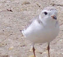 Atlantic piping plover