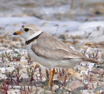 Northern Great Plains piping plover