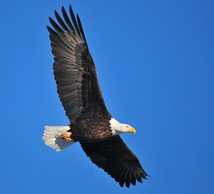 Bald eagle, continental U.S. DPS