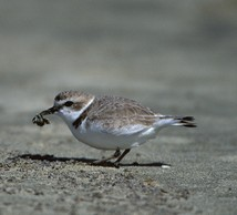 Western snowy plover, Pacific DPS