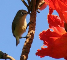 Guam bridled white-eye, or nossa